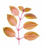 Branch Of Fuchsia With Red Leaves Back Turned To Camera Is Isolated On White Background