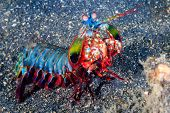 stock photo of biodiversity  - Vividly colored Peacock Mantis Shrimp on a black sandy seabed