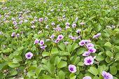 pic of glory  - Seaside morning glory flowers in green field - JPG