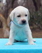 A Labrador Puppy On Blue Background