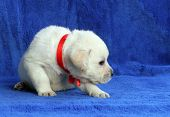 The Yellow Labrador Puppy Sitting On Blue Background