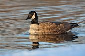 Canada Goose With Reflection On A River