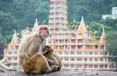 Indian Macaque Monkeys