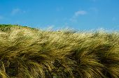 foto of pampas grass  - Beautiful long grasses sway behind a dry stone wall on a warm summer day in Cornwall - JPG