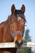 stock photo of bay horse  - Portrait of nice purebred bay horse at corral door frozen winter day - JPG