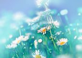 stock photo of daisy flower  - Daisy flowers in meadow made with color filters - JPG