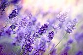 image of lavender plant  - Beautiful lavender flowers in my flower garden - JPG