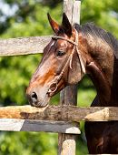 Beautiful Bay Horse Looks Out Of The Fence