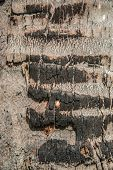 Some Skin Of Coconut Tree Burnt Wood Texture