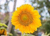 Sunflowers Or Helianthus Annuus Field In The Garden