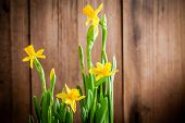 Bright Yellow Blooming Narcissuses On A Wooden Background