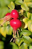 pic of rosa  - Rose hips of Rosa rugosa close up in autumn - JPG