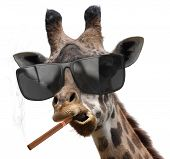 stock photo of tobacco smoke  - A strange giraffe wearing fashionable tinted glasses and smoking a big cigar - JPG