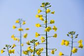 stock photo of biodiesel  - GMO rapeseed plant on a huge field for production of biodiesel close - JPG