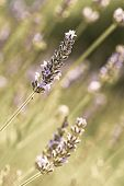 image of lavender plant  - Field of fresh lavender (Lamiaceae plant family) vintage