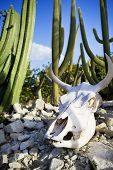 stock photo of cow skeleton  - Cattle skull on the rocks surrounded by cacti  - JPG