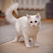 foto of cat-tail  - White domestic young cat with a fluffy tail - JPG