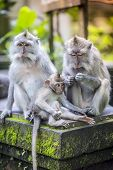 stock photo of tail  - Long Tailed Macaque with her Infant Sacred Monkey Forest Ubud - JPG