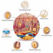 Skin Anatomy And Sensory Receptors In The Skin