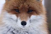 pic of european  - close up of the face of a european red fox