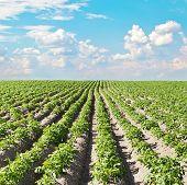 stock photo of potato-field  - Potato field under beautiful sky - JPG