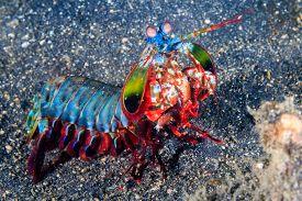 stock photo of biodiversity  - Vividly colored Peacock Mantis Shrimp on a black sandy seabed  - JPG