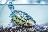 pic of ear  - Red eared slider swimming in the aquarium - JPG