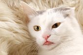 stock photo of tongue  - portrait of a wondering white cat with yellow eyes and pink tongue - JPG