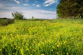 picture of buttercup  - Field of wild buttercups on the edge of farmland in Northumberland - JPG