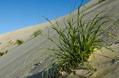picture of quicksand  - Plants in Te Paki sand dunes in Northland New Zealand - JPG