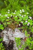 stock photo of sorrel  - Wood sorrel growing on old birch tree stump - JPG