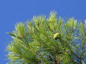 picture of pine cone  - Fresh new Pine cone in hills near Alora Andalucia - JPG