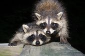 pic of scared baby  - Two cute baby raccoons on a wooden deck at night - JPG