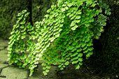 stock photo of fern  - The Adiantum or Maidenhair fern in door - JPG