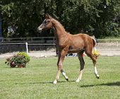 picture of brown horse  - one brown Holsteiner foal trotting on a horse show - JPG