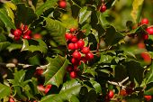 Holly Berries Beta