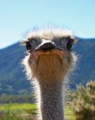 picture of stare  - An ostrich staring at the camera with intensity - JPG
