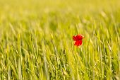 picture of single flower  - Poppy flower growing on cereal field - JPG