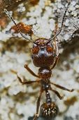 picture of ant  - Ant outside in the garden closeup  - JPG