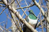 pic of pigeon  - New Zealand