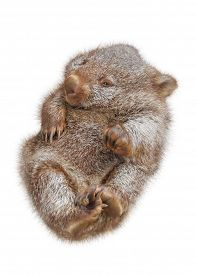 stock photo of wombat  - Little wombat female 3 months - JPG