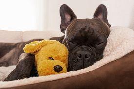 foto of bulldog  - french bulldog dog having a sleeping and relaxing a siesta in living room with doggy teddy bear - JPG