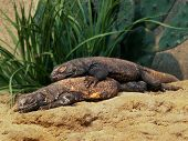 Gila Monsters Bunk Bed