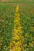 Road From Yellow Camomile