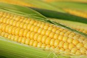 Closeup of yellow corn with additional ears of corn in the background.  Shallow dof
