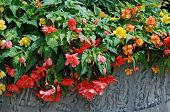 Colorful double blossom hanging begonias in large stone planter.