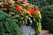 Colorful double blossom hanging begonias and coleus in large stone planter.
