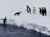 Penguin jumps on a floe