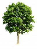 stock photo of walnut-tree  - Walnut Tree  - JPG