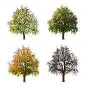 A Pear tree isolated against a white background in different seasons
